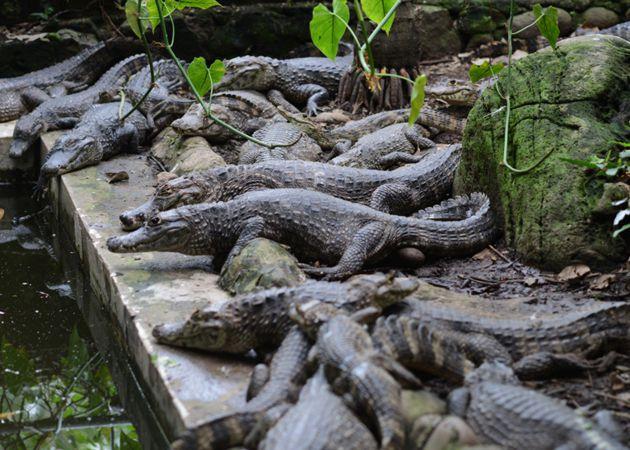 Cocodrilos y caimanes en Craicorchis de Tapachula