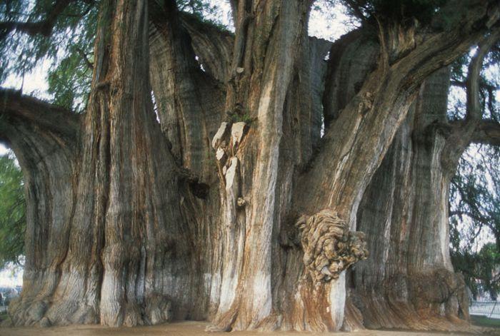 Árbol del Tule en Oaxaca.
