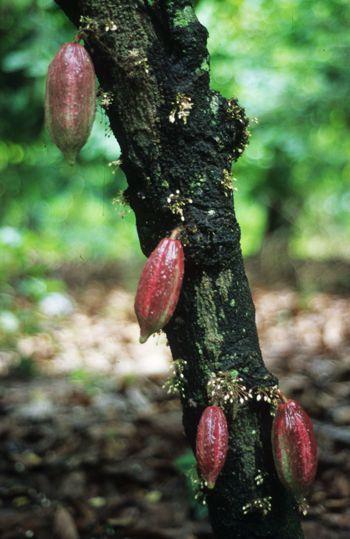 Cacao, frutos y flores.