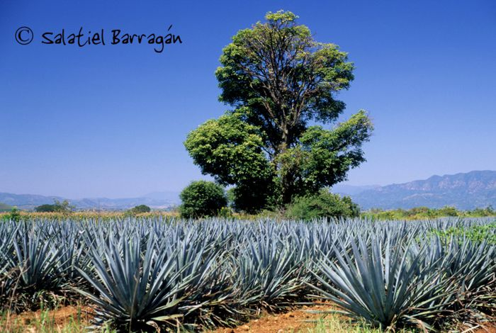Campo agavero de Tequilana weber, Jalisco.