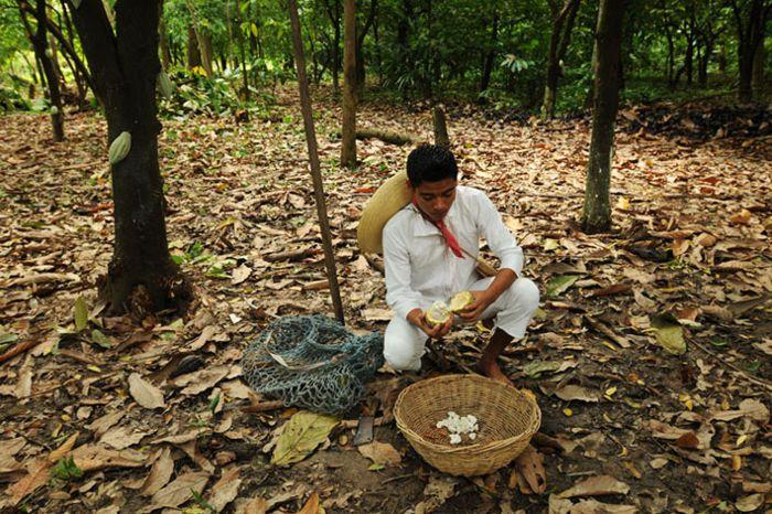 Cosecha de cacao, mazorca y granos.