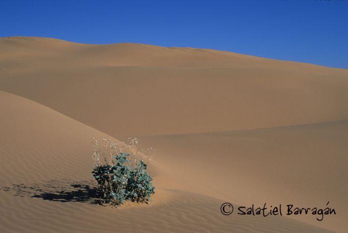 Dunas arenosas y planta. Desierto de Altar.