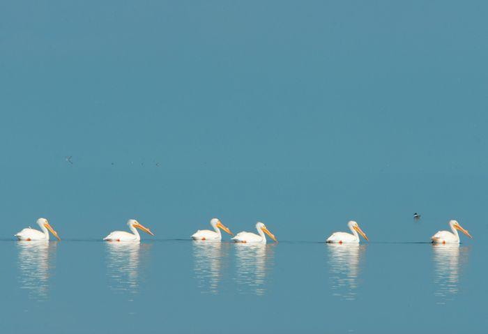 Pelícanos blancos en la Laguna Madre.