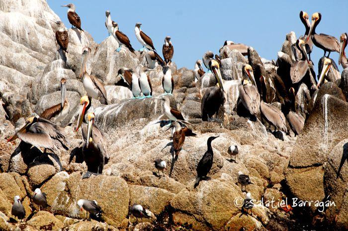Pelícanos cafés y pájaros Bobos patas azules