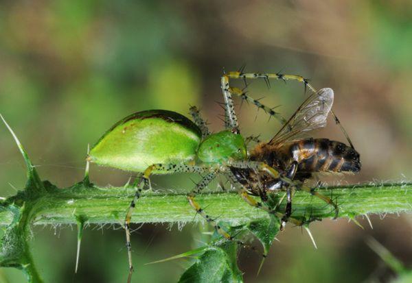 Araña de la ortiga devora una abeja.