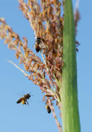 Abejas en flores de planta de maíz.