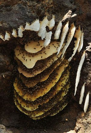 Panal silvestre de abejas en peña.