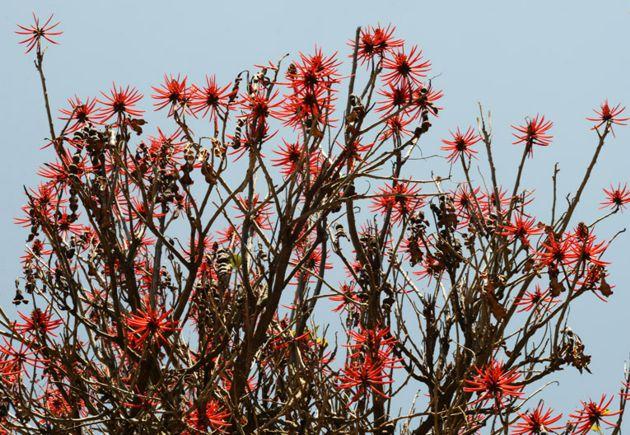 Colorin en flor, primavera en CdMx.