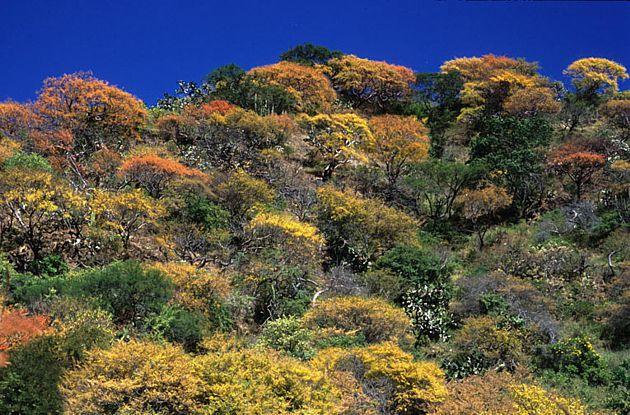 Selva baja en otoño, centro de Nayarit.