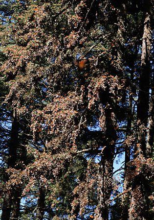 Mariposa Monarca. Congregación en ramas.