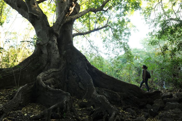 Enorme raíz y turista. Meseta de Cacaxtla