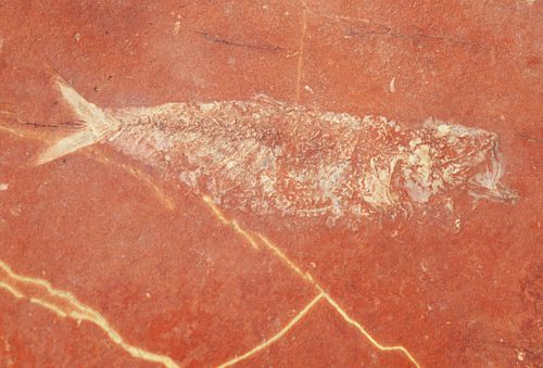 Fósil de pez en Tepeji de Rodríguez, Puebla