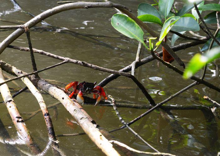 Cangrejo Rojo en mangles del río Tumilco.