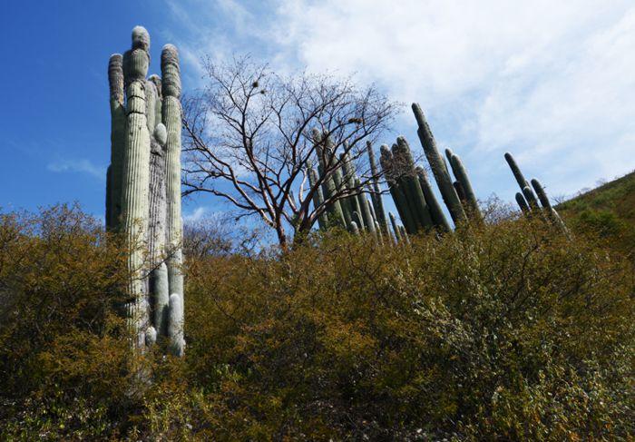 Cactus Viejitos en Jardín Botánico de Metztitlán.