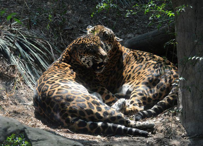 El Jaguar abunda en sus selvas y áreas protegidas de vida silvestre