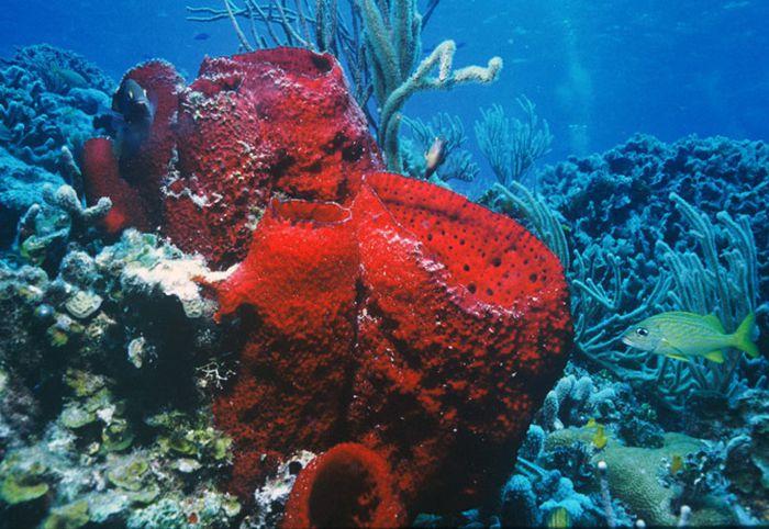 Esponja roja en arrecife Palancar de Cozumel