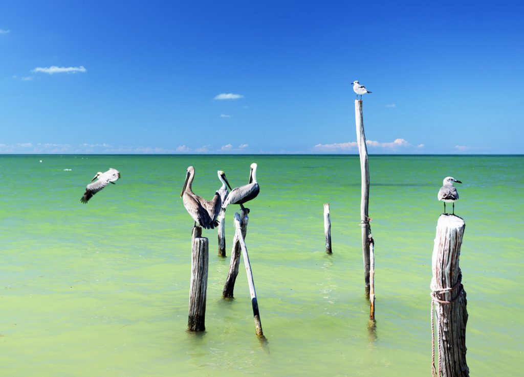 Pelícanos en Holbox. Caribe Mexicano