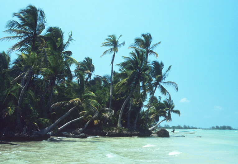 Palmeras en costa sur de Q. Roo. Caribe Mexicano