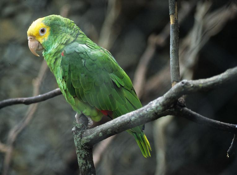 Loro cabeza amarilla, habitante común en el estado. Festival de aves y fotografía en Chiapas