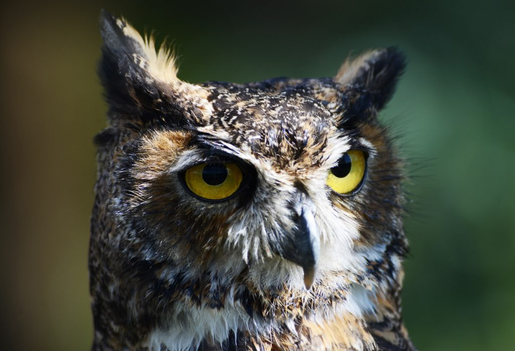 Búho cornudo, habita bosques y selvas del estado. Festival de aves y fotografía en Chiapas